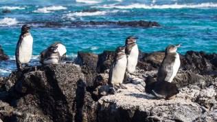 Galapagos-Pinguine
